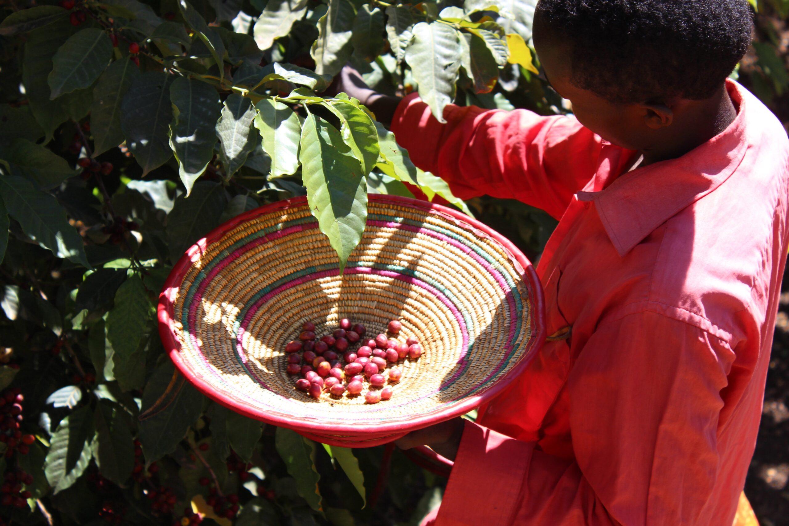 Ahonnan a kávé jön: Etiópia